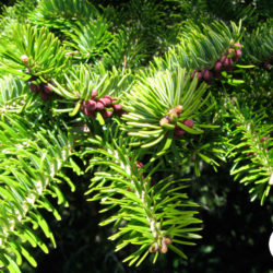 Abies-cephalonica-1
