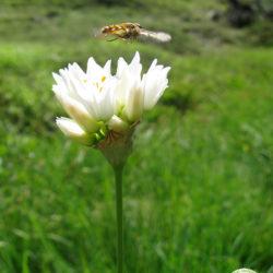 Allium-phthioticum-4