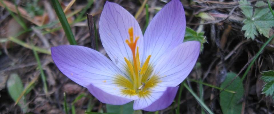 Crocus sp (4)