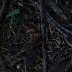 Cystodermella granulosa (φωτο Μ. Τριανταφύλλου)