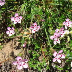 Dianthus-tymphresteus-5