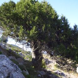 Juniperus-foetidissima-2