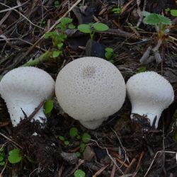 Lycoperdon perlatum (φωτο Μ. Τριανταφύλλου)