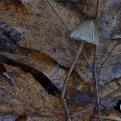 Mycena aff galopus (φωτο Μ. Τριανταφύλλου)