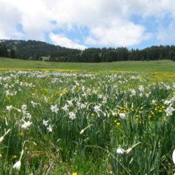 Narcissus-poeticus-(3)