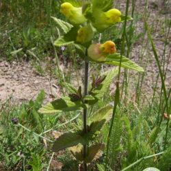 Rhinanthus pubescens_0
