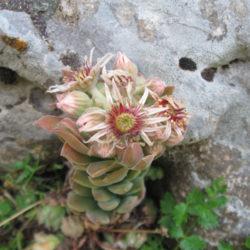 Sempervivum marmoreum