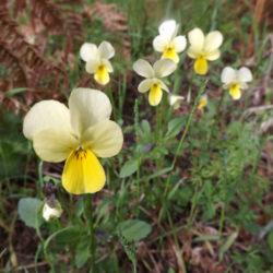 Viola aetolica